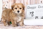 Morkie Puppy For Sale in BEL AIR, Maryland,