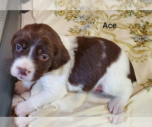Brittany Puppy for Sale in ARRINGTON, Tennessee USA