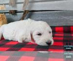 Puppy 0 English Cream Golden Retriever-Poodle (Standard) Mix