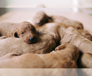 Goldendoodle Puppy for Sale in ANDERSON, South Carolina USA