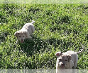 Chesapeake Bay Retriever Puppy for Sale in CALDWELL, Idaho USA