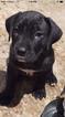 Puppy 3 Presa Canario