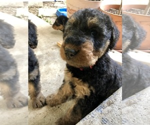 Airedale Terrier Puppy for sale in MOSCOW, ID, USA