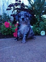Australian Shepherd Puppy for sale in BALTIC, OH, USA