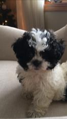 Zuchon Puppy For Sale in SPRING GREEN, WI, USA