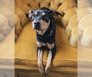 Rottweiler-Unknown Mix Dog For Adoption in HOMESTEAD, FL, USA