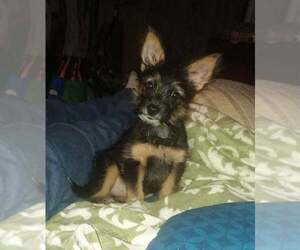 Morkie Puppy for Sale in ELKHART, Indiana USA