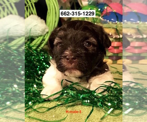 Havanese Puppy for Sale in SMITHVILLE, Mississippi USA