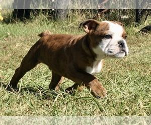Bulldog Puppy for sale in GREENWOOD, AR, USA