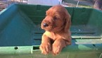 Irish Setter Puppy For Sale in DIBOLL, TX, USA