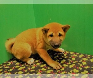 Shiba Inu Puppy for Sale in PATERSON, New Jersey USA