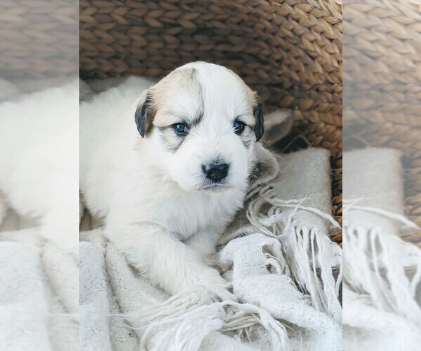 Medium Photo #9 Great Pyrenees Puppy For Sale in FALCON, CO, USA