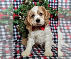 Cocker Spaniel Puppy for sale in LANCASTER, PA, USA