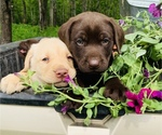 Small Photo #1 Labrador Retriever Puppy For Sale in AVA, MO, USA