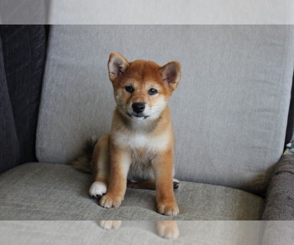Medium Photo #6 Shiba Inu Puppy For Sale in SEATTLE, WA, USA
