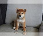 Small Photo #6 Shiba Inu Puppy For Sale in SEATTLE, WA, USA