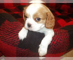 Puppy 1 Cavalier King Charles Spaniel