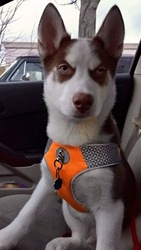 Siberian Husky Puppy For Sale in BLOOMINGTON, IN