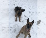 3 5month Belgian Malinois puppies for sale