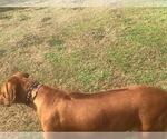 Puppy 3 Rhodesian Ridgeback
