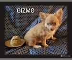 Small Photo #9 Chihuahua Puppy For Sale in MANSFIELD, TX, USA