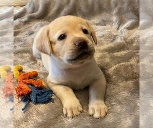 Labrador Retriever Puppy for sale in SPRINGFIELD, MO, USA
