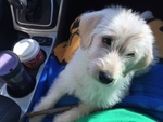 Labradoodle Puppy For Sale in CRESTWOOD, KY