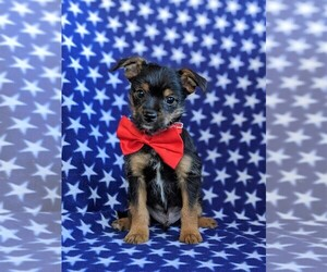 Chorkie-Unknown Mix Puppy for sale in LEOLA, PA, USA