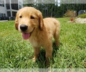 Golden Retriever Puppy for Sale in YULEE, Florida USA