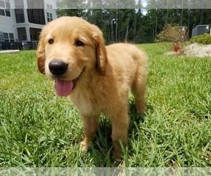 Golden Retriever Puppy for sale in YULEE, FL, USA