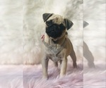 Small Photo #17 Pug Puppy For Sale in CANTON, CT, USA