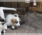 Small #836 Anatolian Shepherd-Maremma Sheepdog Mix