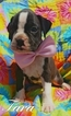 Boxer Puppy For Sale in EAST EARL, PA