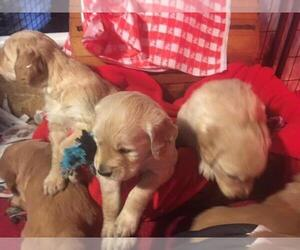 Golden Retriever Puppy for sale in FENTON, MI, USA
