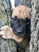 Bullmastiff Puppies For Sale