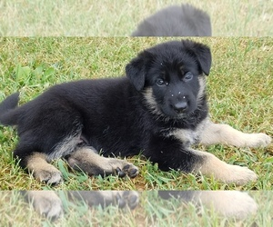German Shepherd Dog Puppy for sale in GREENWD, IN, USA