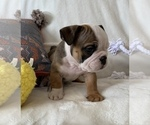 Small #12 English Bulldog