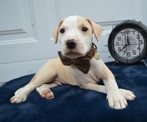 American Pit Bull Terrier Puppy for sale in HONEY BROOK, PA, USA
