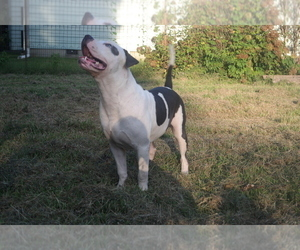American Pit Bull Terrier Dog for Adoption in POPLAR BLUFF, Missouri USA