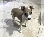 Small #12 Italian Greyhound