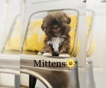 Small Photo #5 Shih Tzu Puppy For Sale in COOKEVILLE, TN, USA