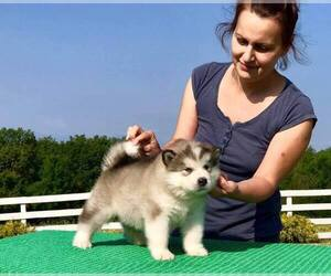 Alaskan Malamute Puppy for sale in St John's, Newfoundland and Labrador, Canada