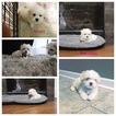 Maltese Puppy For Sale in GROVETOWN, GA, USA