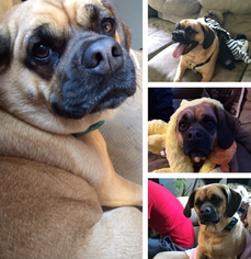 Puggle Puppy For Sale in BUFFALO, NY