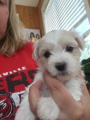 Coton de Tulear Puppy For Sale in MEMPHIS, IN