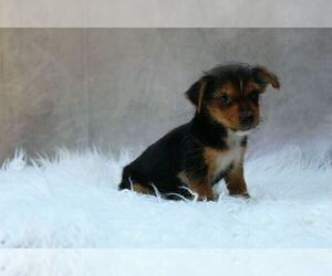 YorkiePoo Puppy for sale in LOWELL, MA, USA