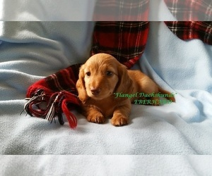 Dachshund Puppy for sale in KENDALL, FL, USA