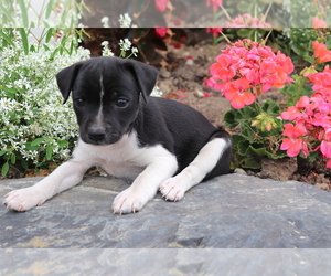 Boston Terrier-Unknown Mix Puppy for sale in SHILOH, OH, USA