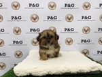 Shorkie Tzu Puppy For Sale in TEMPLE CITY, CA