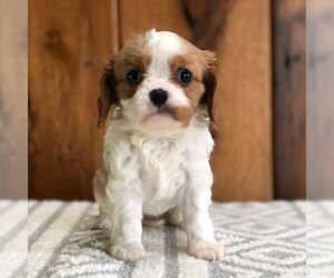 Cavalier King Charles Spaniel Dog for Adoption in DRY RUN, Pennsylvania USA